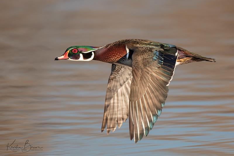 Wood Duck Drake in Flight
