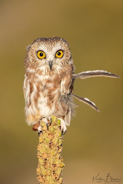 Northern Saw-whet Owl  (captive avian ambassador for Hawks Aloft)