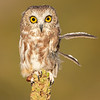 Northern Saw-whet Owl  (captive avian ambassador for Hawks Aloft)