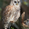 Barred Owl  Parent