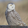Juvinile Snowy Owl<br /> Washington State, USA