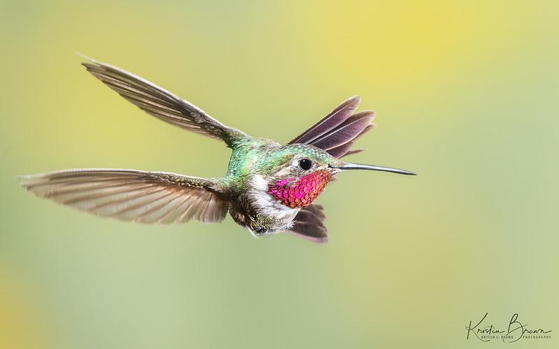 Whoa!!  Male Broad-tailed Hummingbird