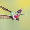 Whoa!!  Male Broad-tailed Hummingbird