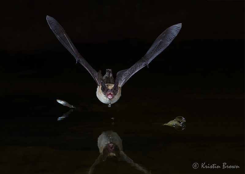 Mexican Free-tailed bat drinking (and some bonus fish!)