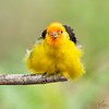 """Liquid Phase ""  Male Western Tanager"