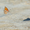 Free Floating    Gulf Fritillary Butterfly
