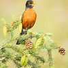 Singing American Robin