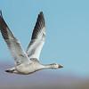 Juvenile Snow Goose