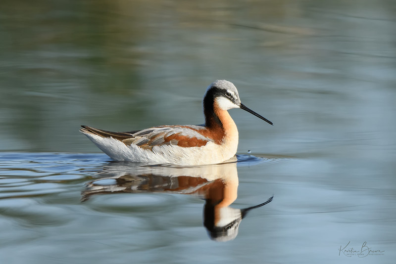 Female Wilson's Phalarope (breeding)