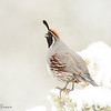 Calling male Gamble's Quail