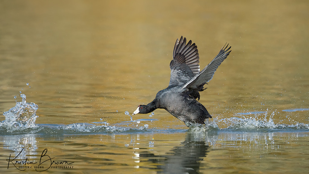 American Coot on the Chase!
