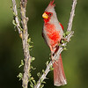 Male Pyrrhuloxia<br /> The Pond at Elephant Head, AZ