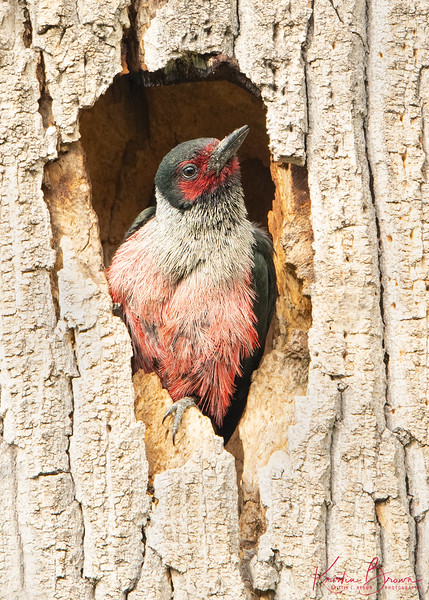Lewis's Woodpecker in Cavity