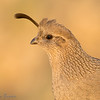 Female Gambel's Quail portrait