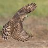 Juvenile Cooper's Hawk Full Wingspread