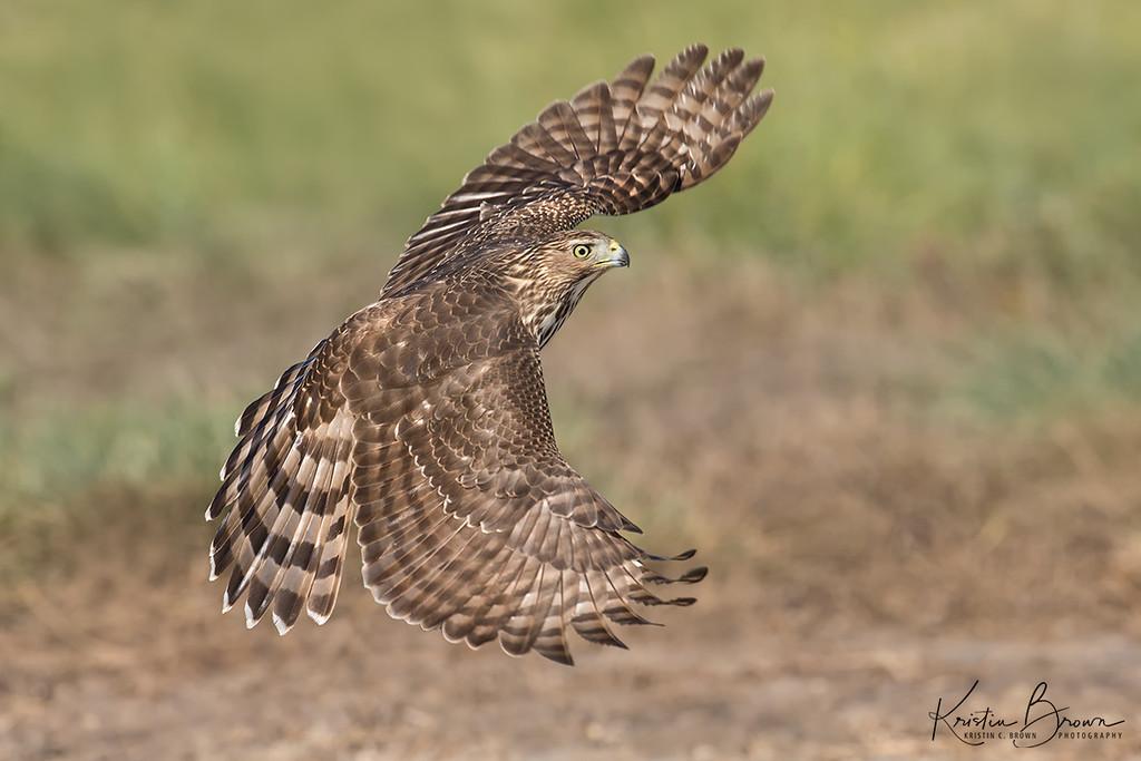 Juvenile Cooper's Hawk Full Wingspread