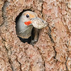 Male Northern Flicker Keeping House ;-)