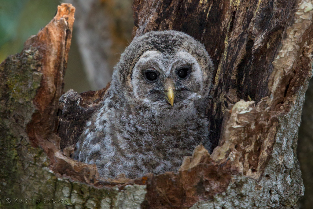 Barred Owlet in Nest Cavity