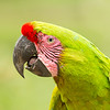 Great Green Macaw (wild)