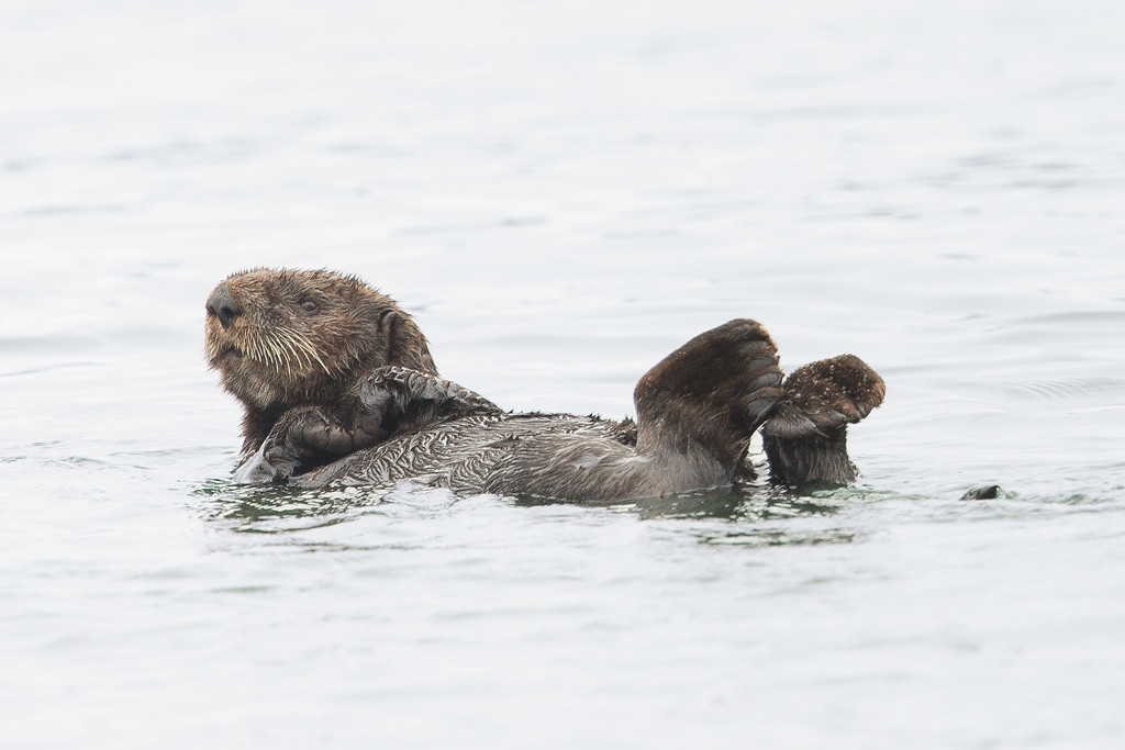 Sea Otter relaxing