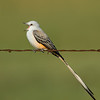 Calling Scissor-tailed Flycatcher on Barbed Wire