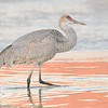 Juvenile Sandhill Crane in the Morning