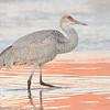 Juvenile Sandhill Crane in the Morning