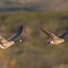Canada Goose Pair