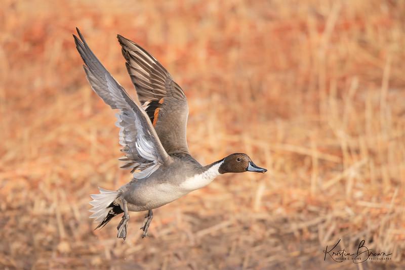 Northern Pintail Duck Drake