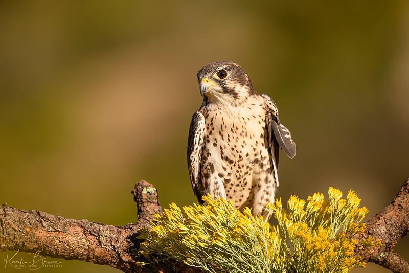 Prairie Falcon (Captive Avian Ambassador for Hawks Aloft)