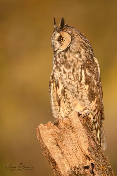 Long Eared Owl (Captive Avian Ambassador for Hawks Aloft)