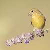 Female Lesser Goldfinch on Russian Sage