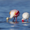 Dining together.  Spoonbill and Ibis