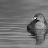 Pied-billed Grebe B&W