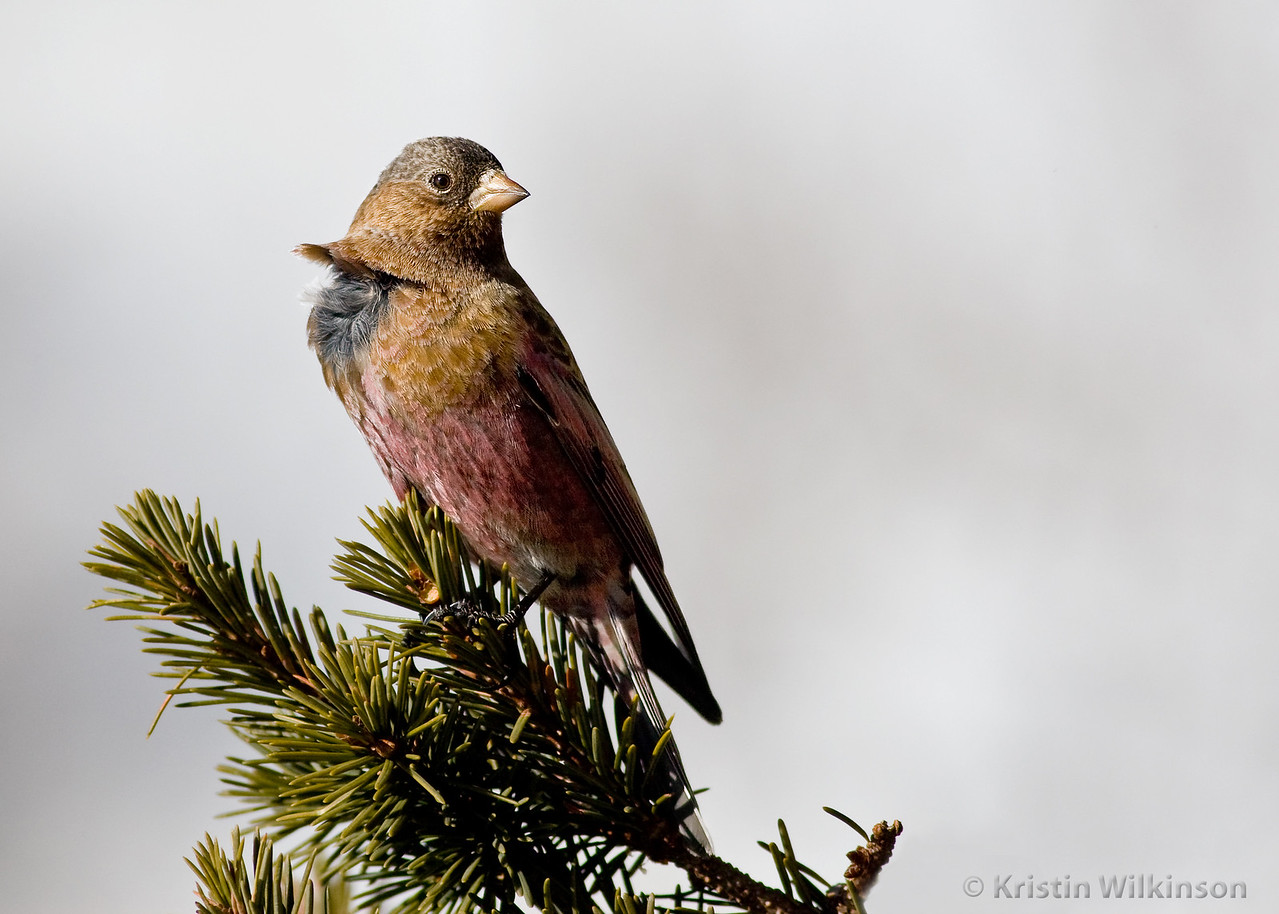 Grey Crowned Rosy Finch<br /> Sandia Crest, NM