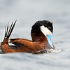 Breeding Display Male Ruddy Duck