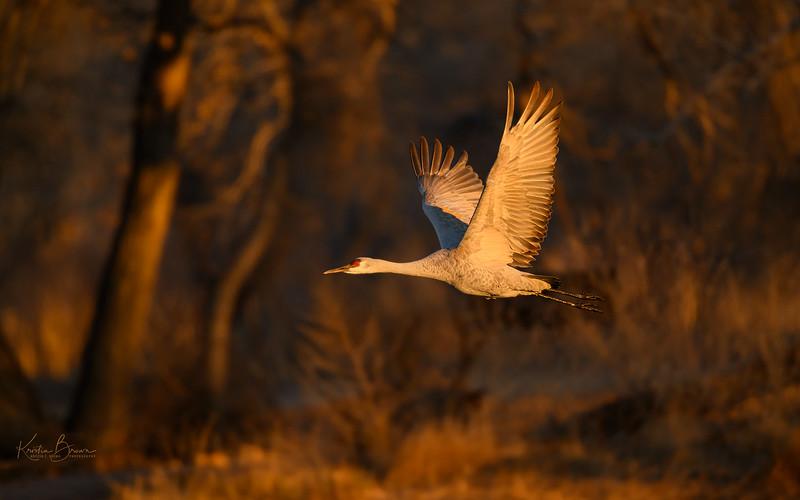 Sandhill Crane in Early Morning Light