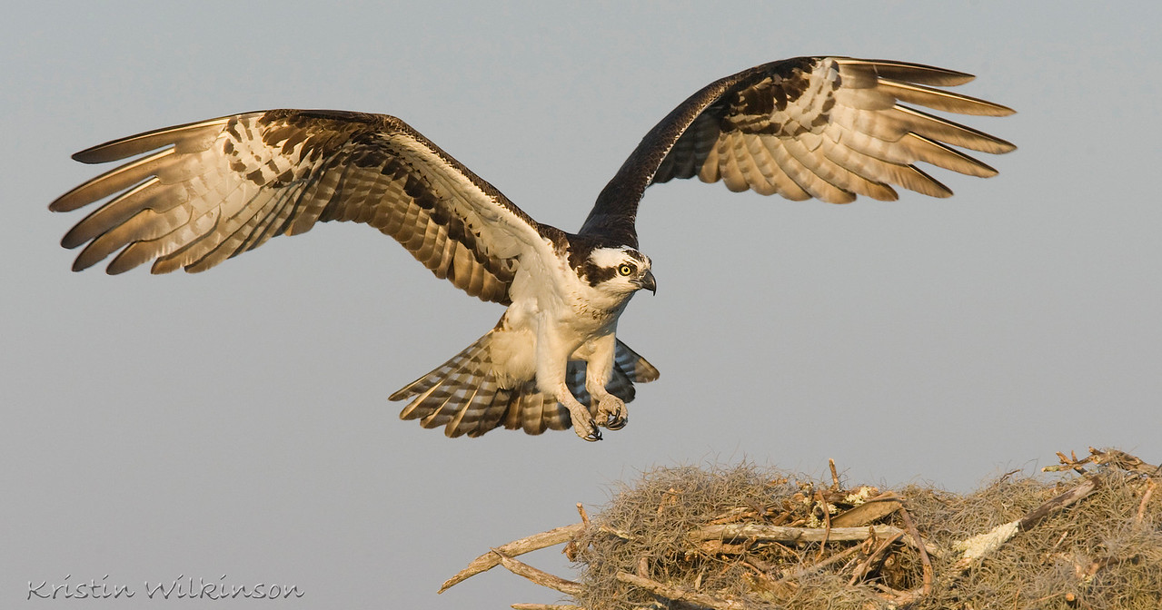 Watch out...here I come!<br /> Adult Osprey landing<br /> Lake Toho, Kissimmee, FL