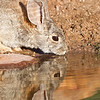 Bunny at the Oasis (Taken for Sarah)<br /> The Pond at Elephant Head, AZ