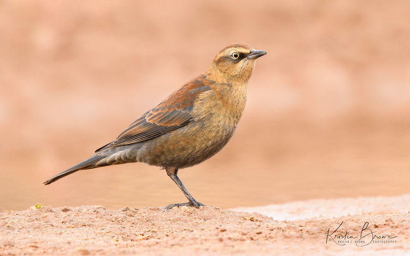 Winter Plumage Rusty Blackbird (NM rare bird)