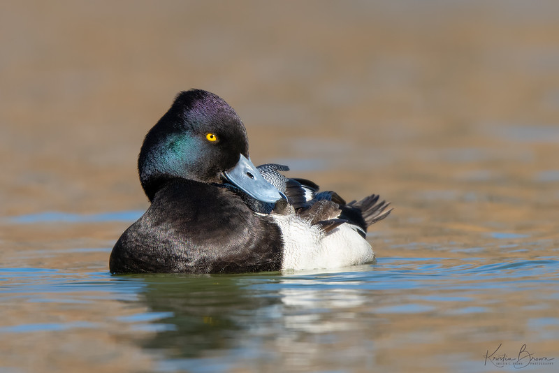Preening male Lesser Scaup