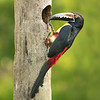 Collared Aracari  Looking  For.....