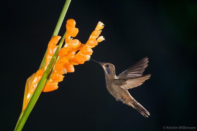 Brown Violet-eared Hummingbird