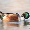 Preening male Northern Shoveler