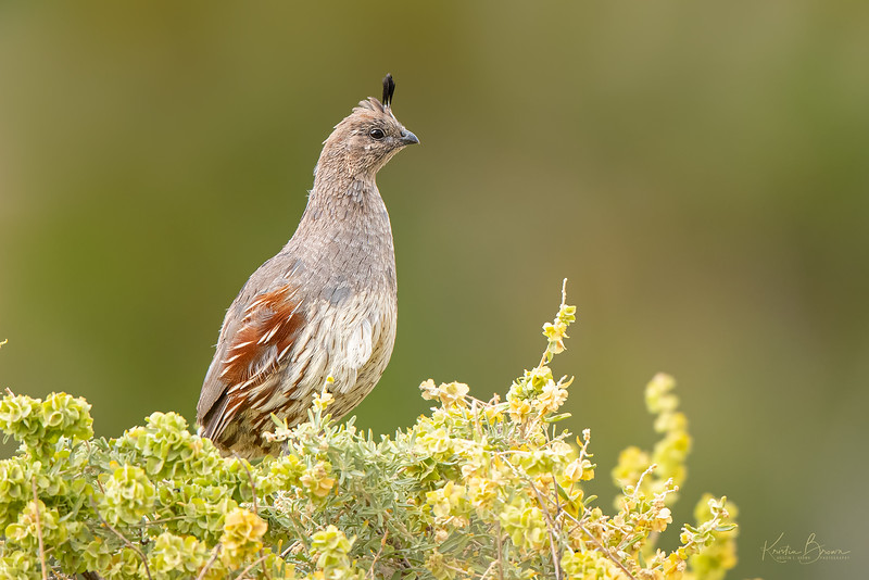 Female Gambel's Quail Watching Over her Brood