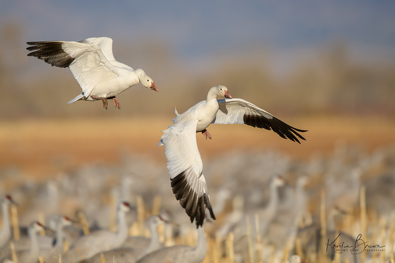 Two Snow Geese Landing