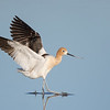 Glass Slippers....American Avocet (Breeding)
