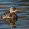 Pied-billed Grebe on dreamy water