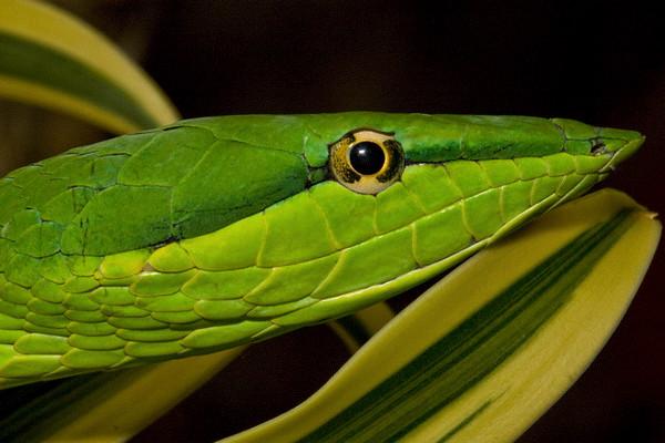 Green Vine Snake, Costa Rica