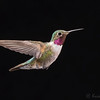Male Broad-Tailed Hummingbird with Multi-flash set up